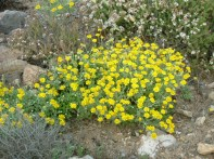 Anthemis chrysanta 01