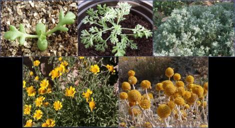 Ciclo biológico de Anthemis chrysantha
