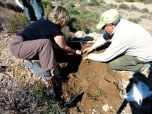 P1370290 La manzanilla de escombreras es plantada en casillas donde el suelo predominante es arenoso