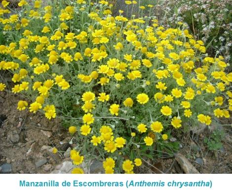 01.Planta_Anthemis chrysantha 02